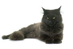 Brown maine coon. In front of white background Stock Images