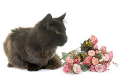 Brown maine coon. In front of white background Royalty Free Stock Photo