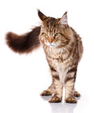 Brown Maine Coon standing on four legs on a white background Royalty Free Stock Photo