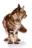 Brown Maine Coon standing on four legs, white background Royalty Free Stock Photography