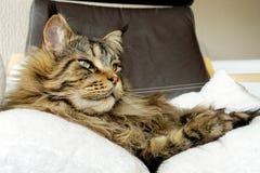 Brown Maine Coon tigrée avec le long lynx dense incline la pose sur le fauteuil Image libre de droits