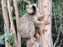 Brown Maki oder Maki, sitzend gegen einen Baumstamm, Madagaskar, Afrika Stockbild