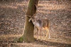 Brown male fallow deer with antlers scratching himself. Brown male fallow deer with antlers standing in a game park lowering its head by a tree trunk, shadow stock photos