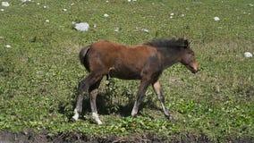 A brown foal walking