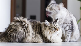 Brown male and silver female, siberian cats in the house Stock Photos
