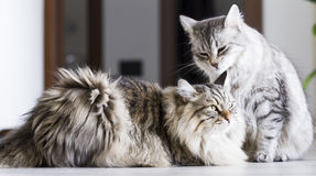 Brown male and silver female, siberian cats in the house Royalty Free Stock Images