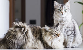 Brown male and silver female, siberian cats in the house Stock Images
