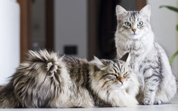 Brown male and silver female, siberian cats in the house Royalty Free Stock Photography
