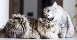 Brown male and silver female, siberian cats in the house Royalty Free Stock Photos