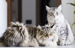 Brown male and silver female, siberian cats in the house Stock Photography