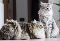 Brown male and silver female, siberian cats in the house Royalty Free Stock Image