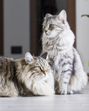 Brown male and silver female, siberian cats in the house Royalty Free Stock Photo