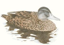 Brown mallard duck Stock Photo