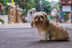 Brown Maltese dog. Sit on the floor Stock Image