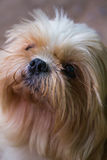 Brown Maltese dog Stock Images