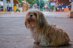 Brown Maltese dog. Sit on the floor Stock Photography