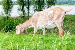 Brown manchó la cabra anglo-Nubian en un dique Fotografía de archivo libre de regalías