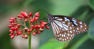 Brown manchó la mariposa que se sentaba en la flor roja Foto de archivo libre de regalías