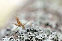 Brown mantis Royalty Free Stock Photo