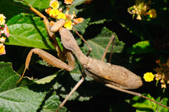 Brown mantis Stock Photo