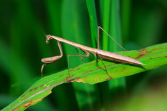 Brown mantis Stock Photos