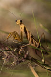 The brown mantis. Stock Photography