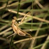 The brown mantis. Stock Image