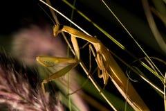 The brown mantis. Stock Photos