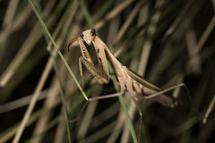The brown mantis. Royalty Free Stock Photography