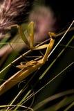 The brown mantis. Stock Photo