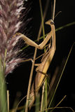 The brown mantis. Royalty Free Stock Image