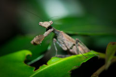 The brown mantis. Royalty Free Stock Images