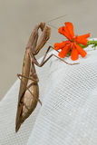 Brown Mantis Religiosa Royalty Free Stock Image