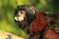 Brown-mantled tamarin Stock Photos
