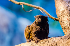 Brown-mantled tamarin Stock Photo