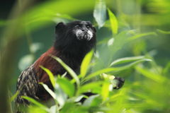 Brown-mantled tamarin Royalty Free Stock Photography