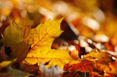 Brown maple fall leaf in nature, autumn seasonal background Stock Photos