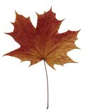 Brown maple leaf Royalty Free Stock Images