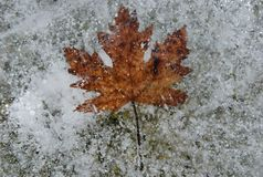 Brown leaf frozen in ice stock image