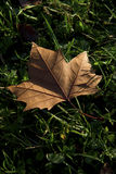 Brown maple leaf Stock Images