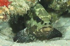 Brown-marbled grouper. (epinephelus fuscoguttatus) hiding under colorful corrals Royalty Free Stock Photo