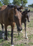 Brown mare with brow colt walking Stock Photo
