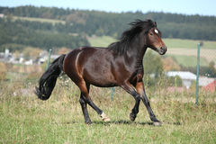 Brown mare of czech sport pony running Stock Image
