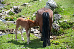 A brown mare feeding a foal. Basque Country (Spain Royalty Free Stock Image