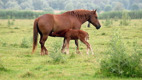 Brown mare and foal Royalty Free Stock Photos