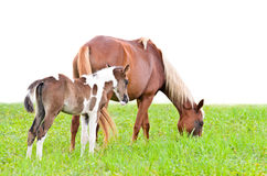 Brown mare and foal isolated on white Stock Images