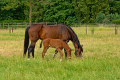 Brown mare and foal grazing Royalty Free Stock Photos