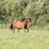 Brown mare with long mane running Stock Images