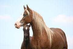 Brown mare with long mane standing with foal