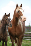 Brown mare with long mane standing with foal Royalty Free Stock Photos